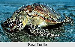 Turtle, Marine Species