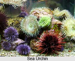 Sea Urchins, Indian Marine Species