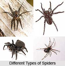 Spider, Insect