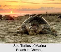 Sea Turtle, Marine Species