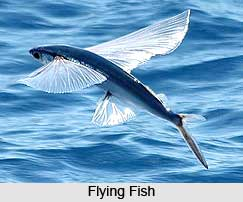 Flying Fish, Indian Marine Species
