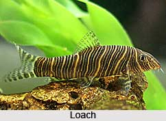 Loach, Indian Freshwater Fish