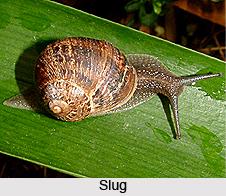 Slugs, Gastropod Mollusc