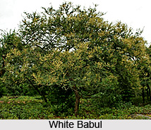 White Babul, Indian Medicinal Plant