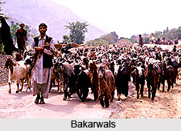 Gujjar Bakarwals in India