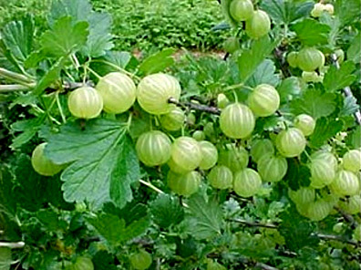 Gooseberry, Indian Herb