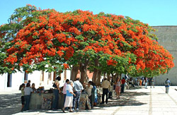 Gul Mohr Tree
