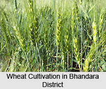 wheat cultivation in india pdf