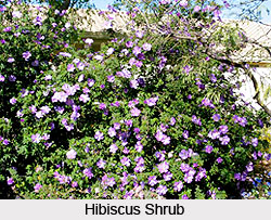 Hibiscus Shrub in India