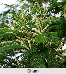 Shami, White Kutch, Indian Medicinal Plant