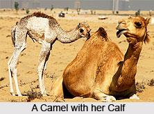 Camel, Indian Animal