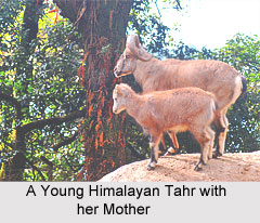 Himalayan Tahr, Indian Mammal