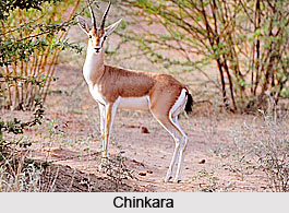 Chinkara, Indian Animal