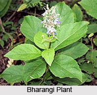 Bharangi, Indian Medicinal Plant