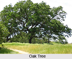 Oak, Indian Tree