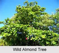 Wild Almond Tree in India