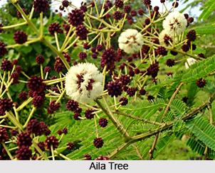 Aila, Indian Medicinal Plant