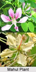 Mahul, Indian Medicinal Plant