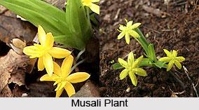 Musali, Indian Medicinal plant