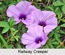Railway Creeper, Indian Medicinal Plant