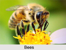 Bees, Indian Species