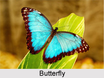 Butterfly, Indian Species