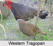 Western Tragopan, Indian Bird