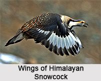 Himalayan Snowcock, Indian Bird