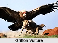 Griffon Vulture, Indian Bird