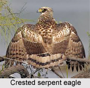 Crested Serpent Eagle, Indian Bird