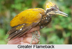 Greater Flameback is an Indian bird that bears a scientific name of ...