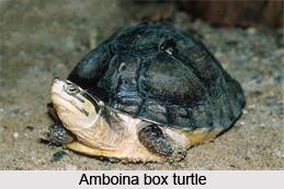 Amboina Box Turtle, Indian Reptile