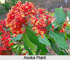 Asoka, Indian Herb