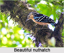 Beautiful Nuthatch, Indian Bird