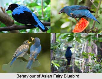 Asian Fairy-Bluebird, Indian Bird
