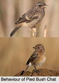 Pied Bush Chat, Indian Bird