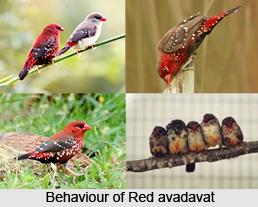 Red Avadavat, Indian Bird