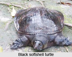 Black Softshell Turtle, Indian Reptileq