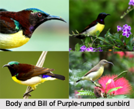 Purple-Rumped Sunbird, Indian Bird