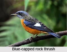 Brahminy Starling, Indian Bird