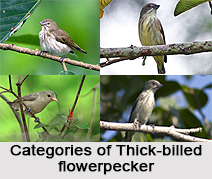 Thick-Billed Flowerpecker, Indian Bird
