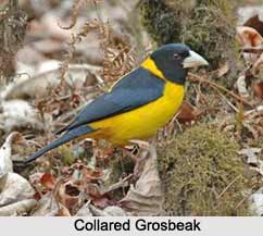 Collared Grosbeak, Indian Bird