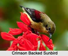 Crimson-Backed Sunbird, Indian Bird