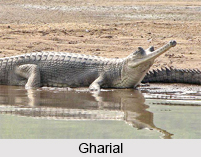 Gharial, Indian Reptile