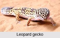 Leopard Gecko, Indian Reptile