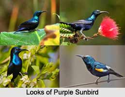 Purple sunbird, Indian Bird