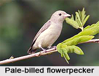 Pale-Billed Flowerpecker, Indian Bird