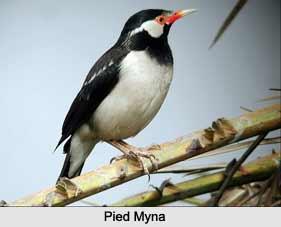 Pied Myna, Indian Bird