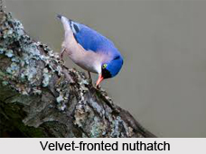 Velvet-Fronted Nuthatch, Indian Bird