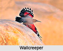 Wallcreeper, Indian Bird